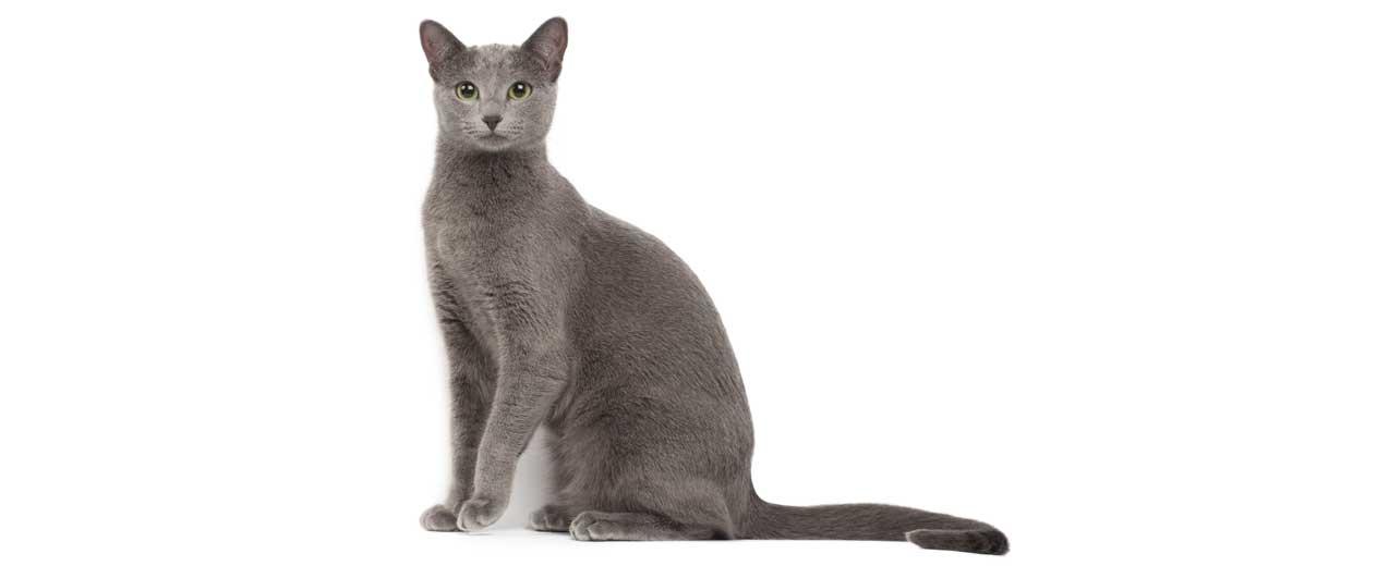 Korat Cat Breed Profile | Petfinder