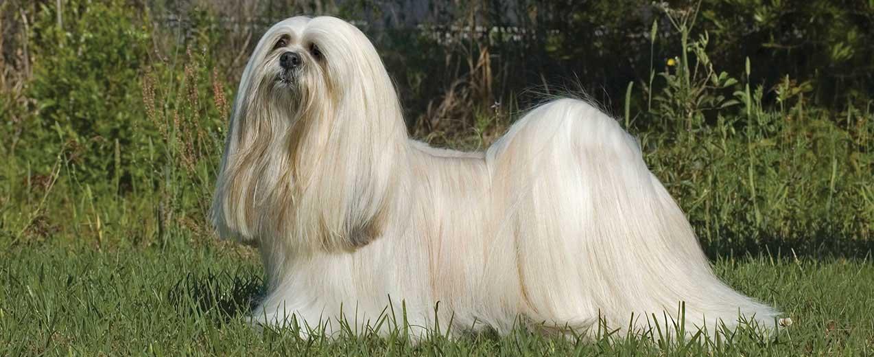 Lhasa Apso Dog Breed Profile | Petfinder