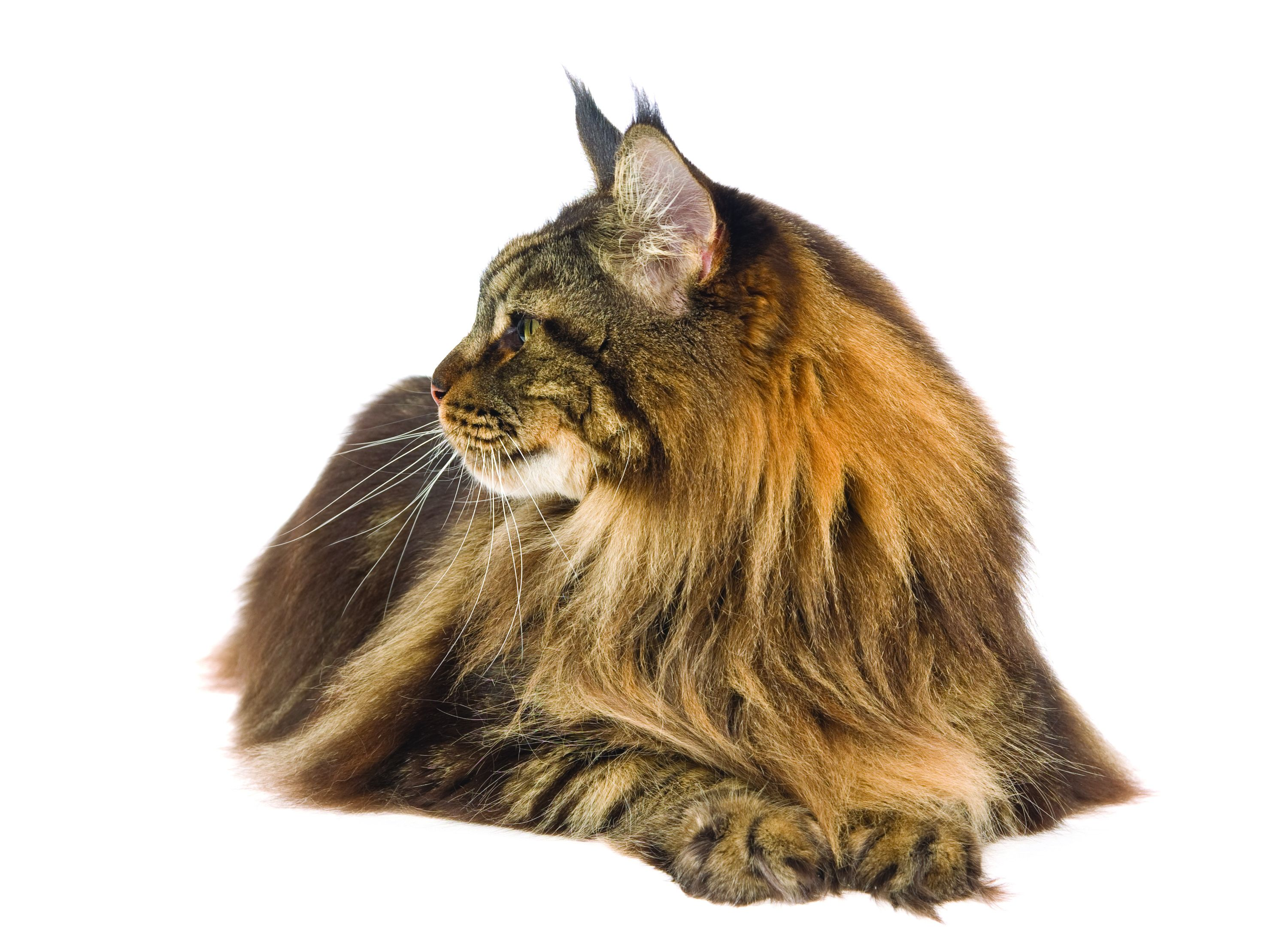 Maine Coon Cat Breed Profile Petfinder