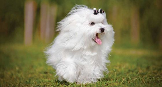 Chinese Crested Dog Dog Breed Profile | Petfinder