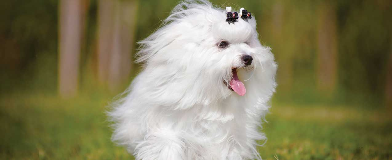 Maltese Dog Breed Profile | Petfinder