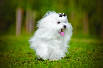 Maltese Dog Breed Profile | Petfinder