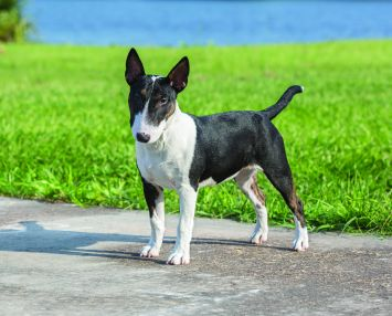 miniature bull terrier dog breed profile petfinder