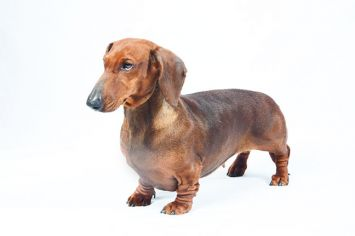 Miniature Dachshund Dog Breed Profile Petfinder