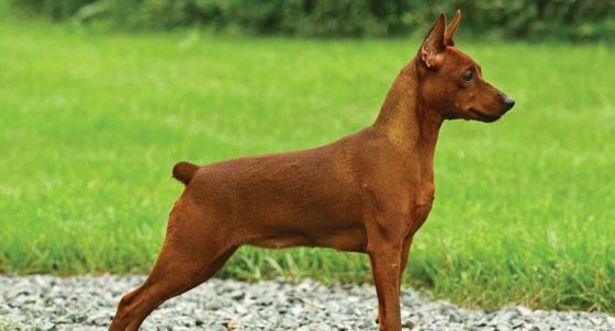 Miniature Pinscher Dog Breed Profile Petfinder