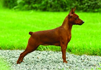 Miniature Pinscher Dog Breed Profile Petfinder