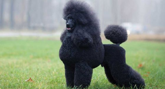 Poodle Dog Breed Profile | Petfinder