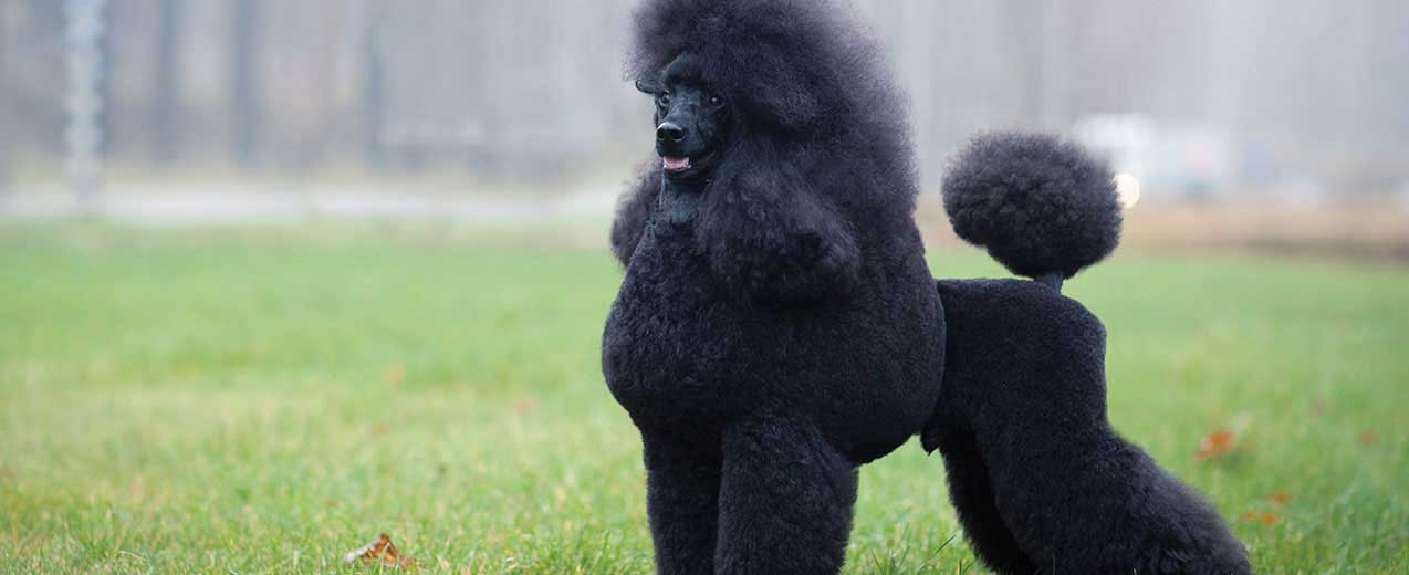 Miniature Poodle Dog Breed Profile Petfinder