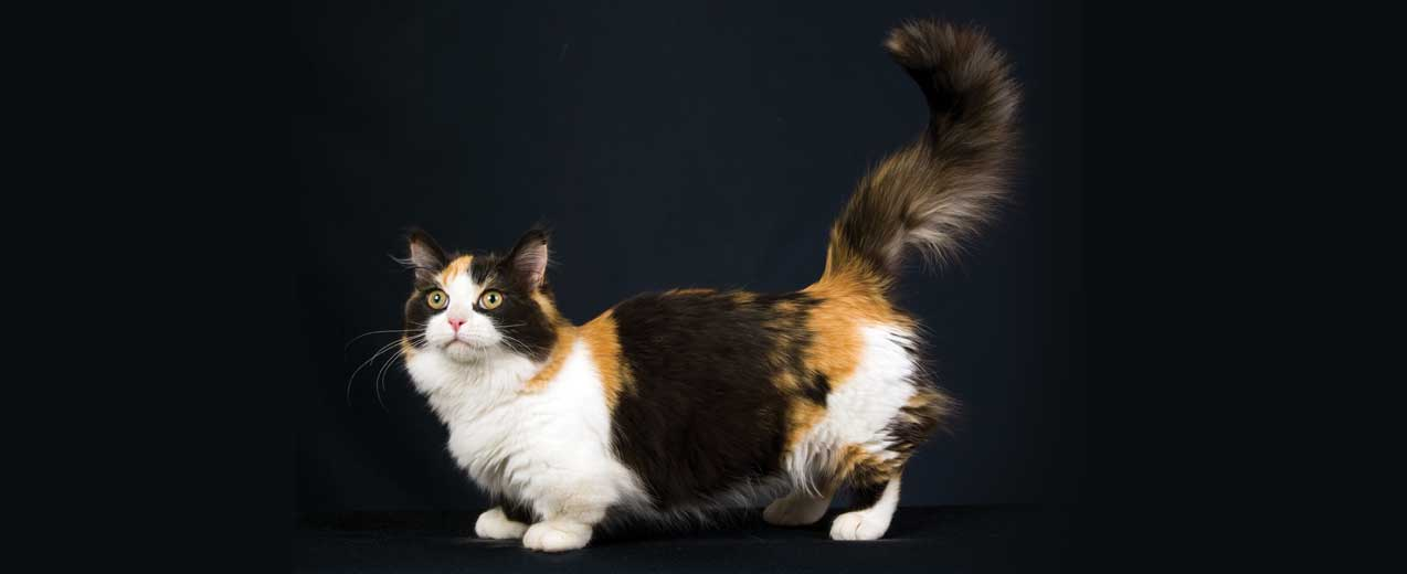 Munchkin Cat Breed Profile | Petfinder