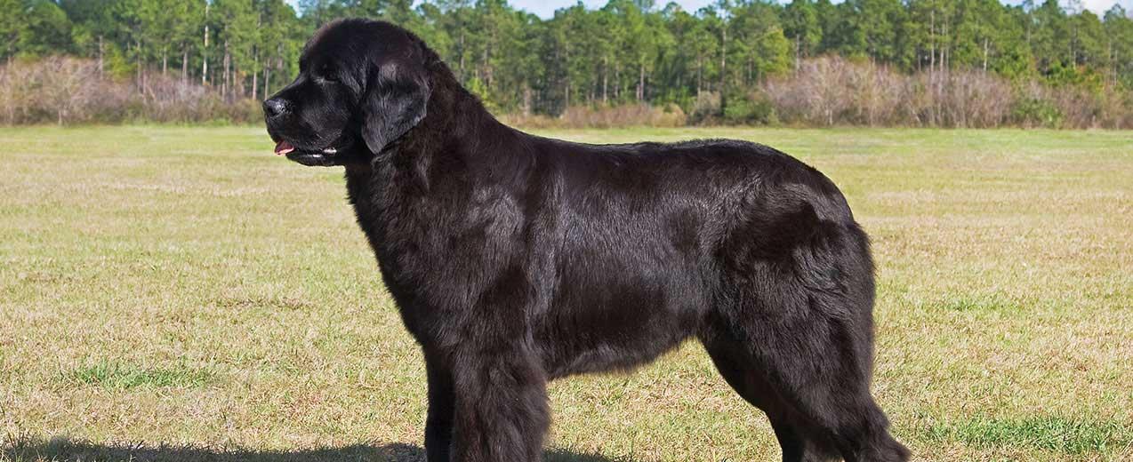 Newfoundland Dog Dog Breed Profile Petfinder