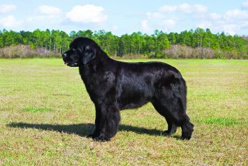 Newfoundland Dog Dog Breed Profile | Petfinder