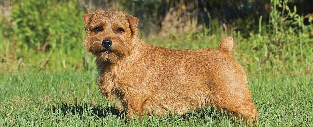 Norfolk Terrier Dog Breed Profile | Petfinder