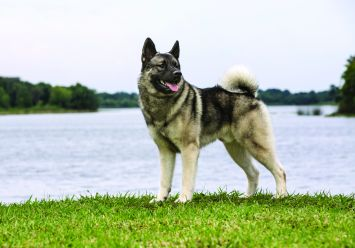 norwegian elkhound dog breed profile petfinder
