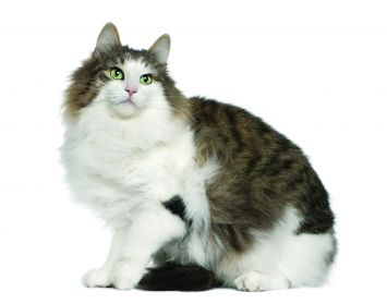 norwegian forest cat cat breed profile petfinder