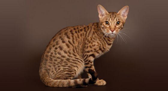 Exotic Shorthair Cat Breed Profile | Petfinder