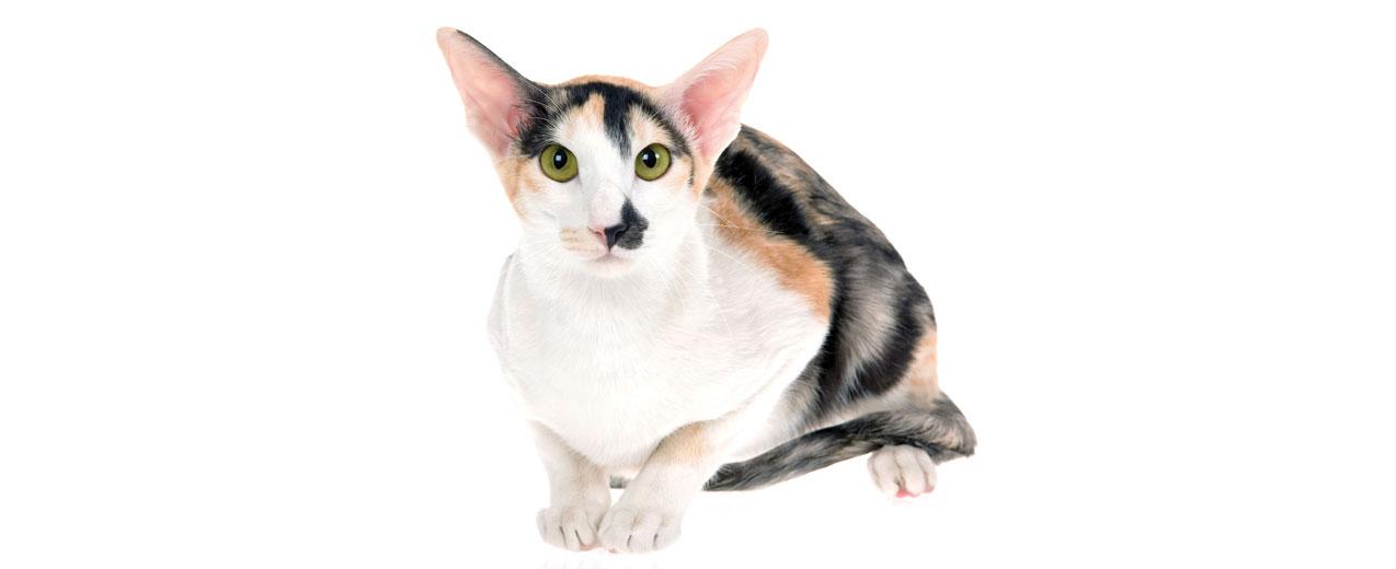Oriental Short Hair Cat Breed Profile   Petfinder