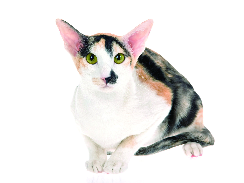 Asian shorthair cat