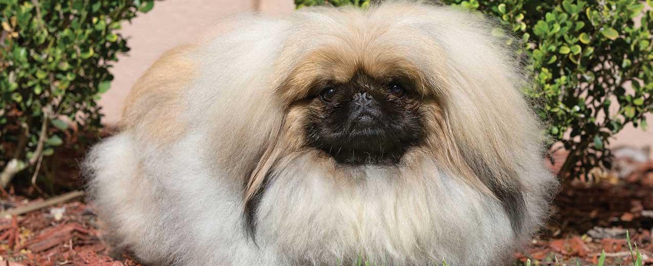 Pekingese Dog Breed Profile | Petfinder