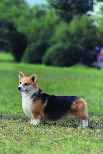 pembroke welsh corgi dog breed profile petfinder