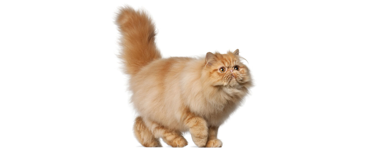 Persian Cat Breed Profile | Petfinder