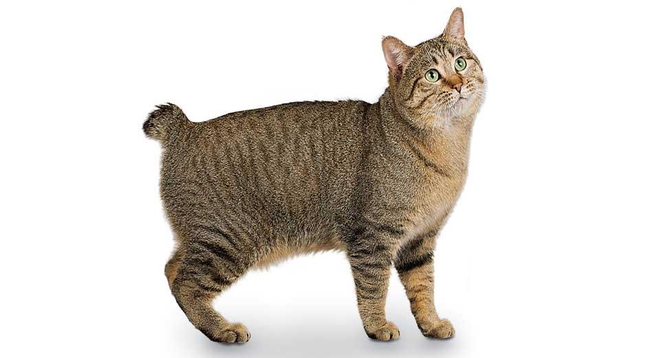 Norwegian Forest Cat Cat Breed Profile Petfinder