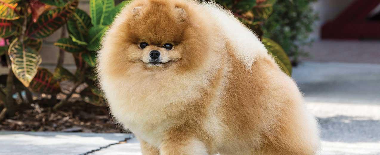 Pomeranian Dog Breed Profile