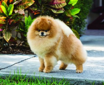 Pomeranian Dog Breed Profile | Petfinder