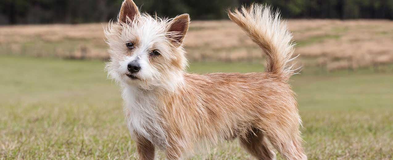 Portuguese Podengo Dog Breed Profile   Petfinder