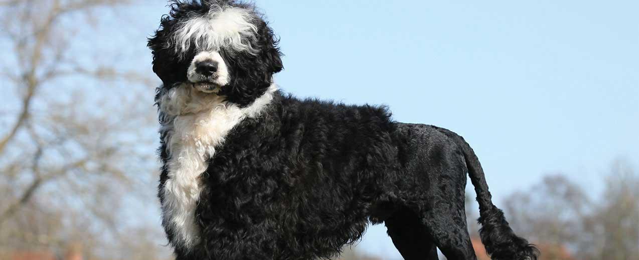 Portuguese Water Dog Dog Breed Profile Petfinder