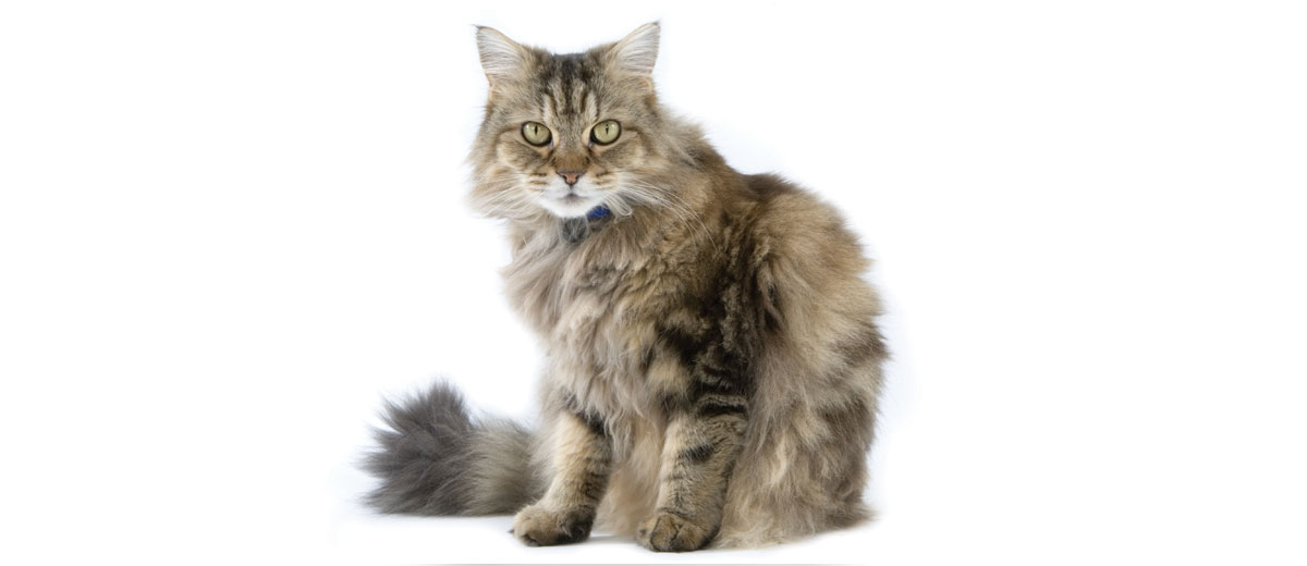 The Largest Domestic Cats Petfinder