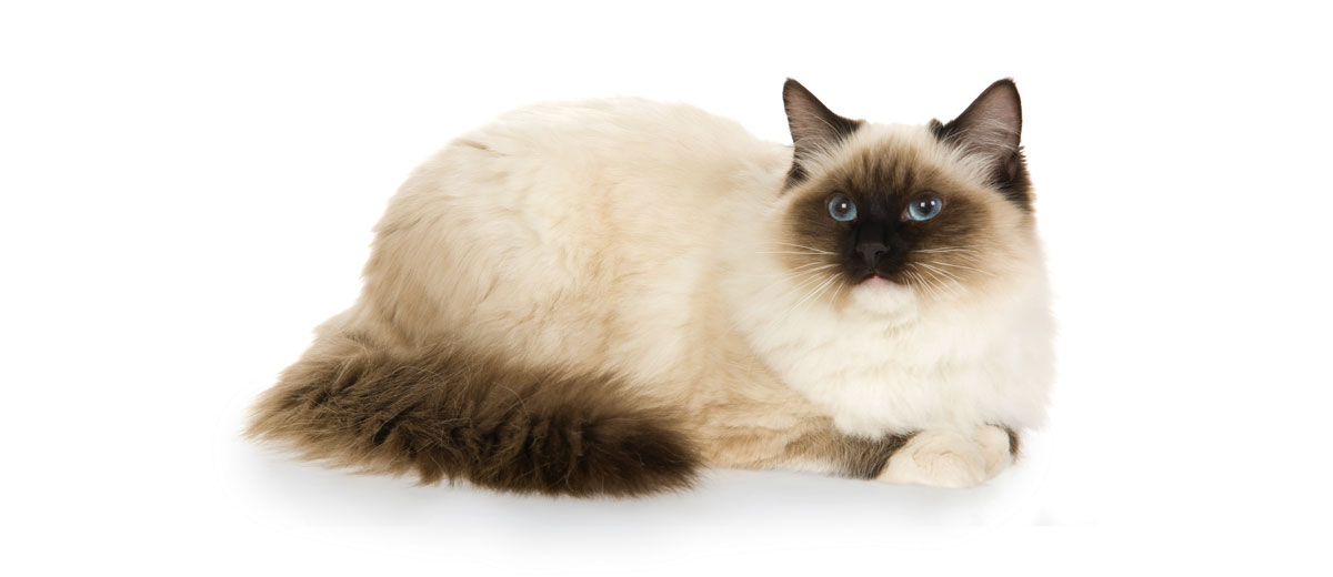 What Are The Cutest Cat Breeds Petfinder