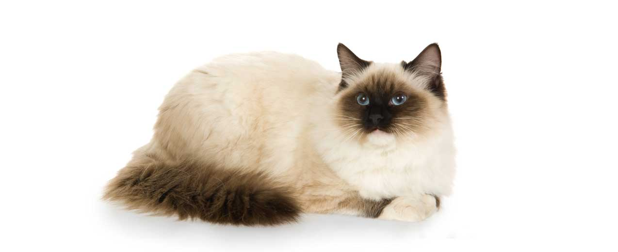 3343a8cf8e Ragdoll Cat Breed Profile