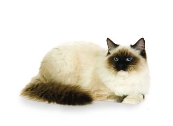 Ragdoll Cat Breed Profile Petfinder
