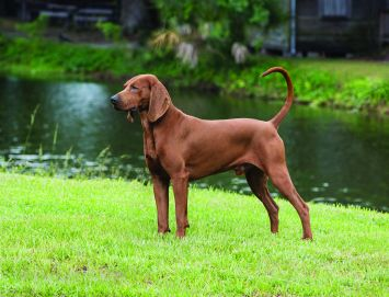 Redbone Coonhound Dog Breed Profile | Petfinder
