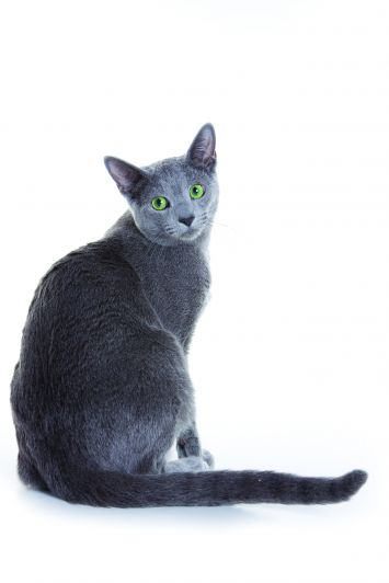 Russian Blue Cat Breed Profile | Petfinder