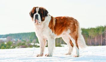 Saint Bernard Dog Breed Profile Petfinder