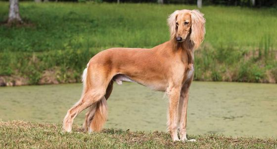 Pharaoh Hound Dog Breed Profile | Petfinder