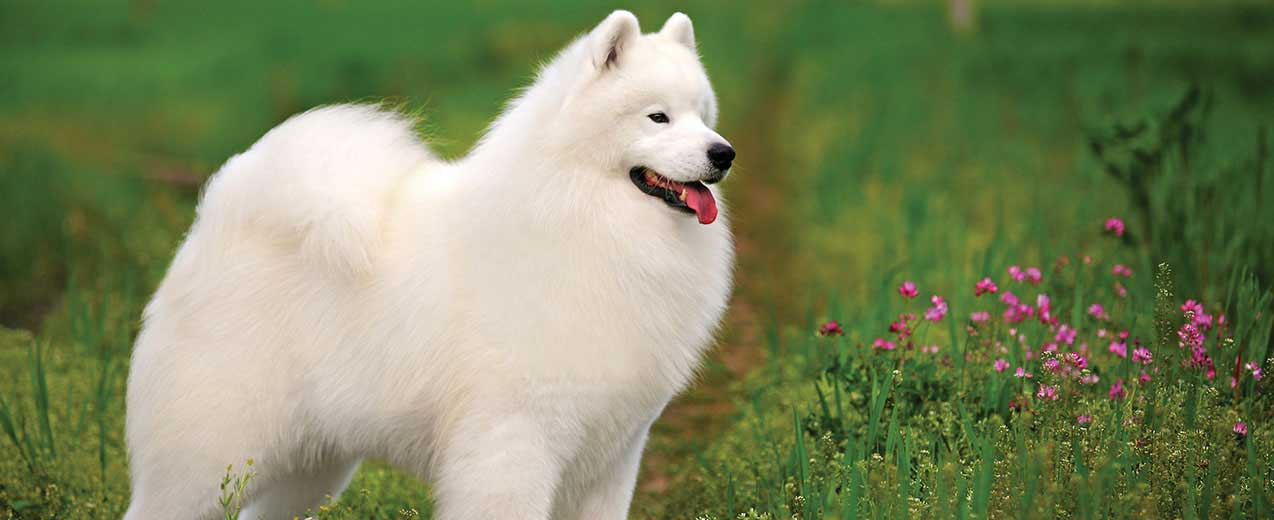 Samoyed Dog Breed Profile | Petfinder