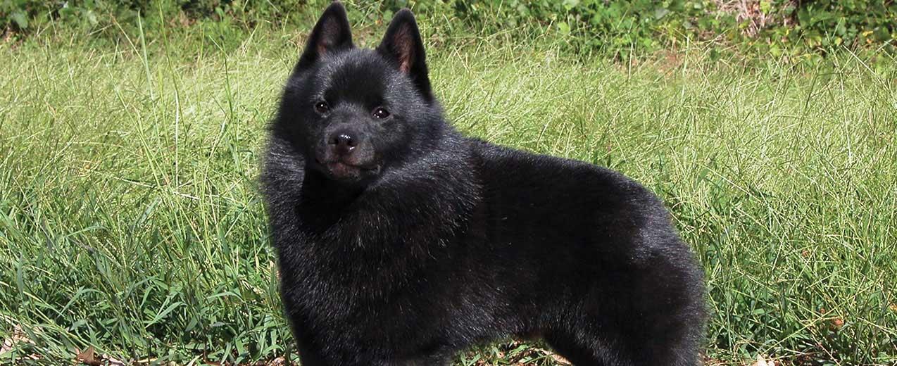 schipperke dog breed profile petfinder