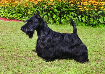 Scottish Terrier Dog Breed Profile Petfinder