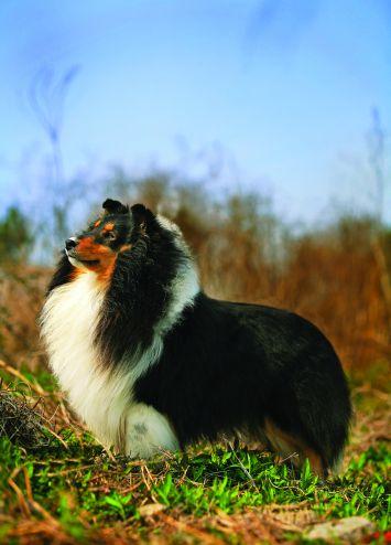 Shetland Sheepdog Sheltie Dog Breed Profile Petfinder