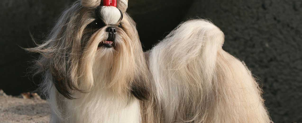 Shih Tzu Dog Breed Profile Petfinder