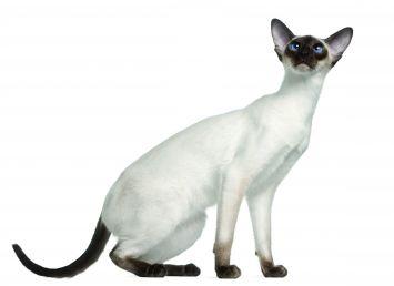 Siamese Cat Breed Profile Petfinder