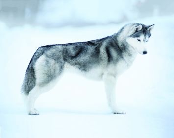 Siberian Husky Dog Breed Profile Petfinder