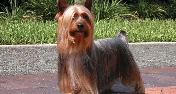 Yorkshire Terrier Dog Breed Profile | Petfinder