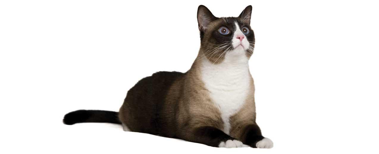 Snowshoe Cat Breed Profile Petfinder