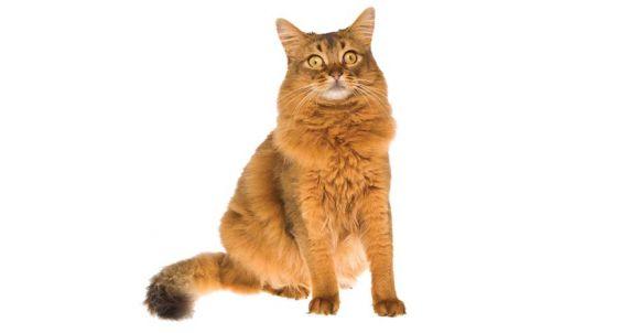 Turkish Angora Cat Breed Profile | Petfinder