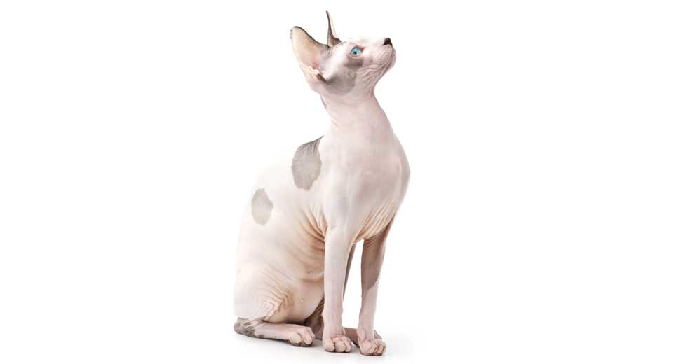 Hairless Cats Breeds Info And Facts Petfinder