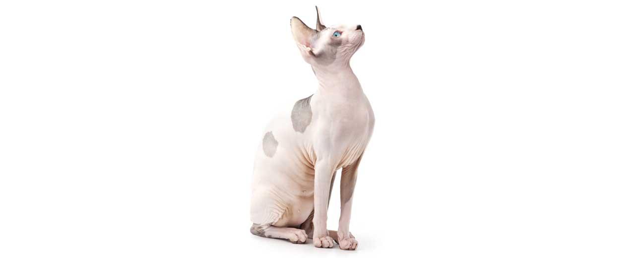 Sphynx / Hairless Cat Cat Breed Profile | Petfinder