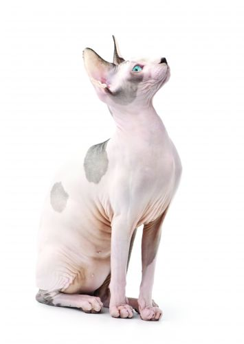 Sphynx / Hairless Cat Cat Breed Profile | Petfinder